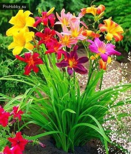 С какими цветами сочетаются лилейники 67