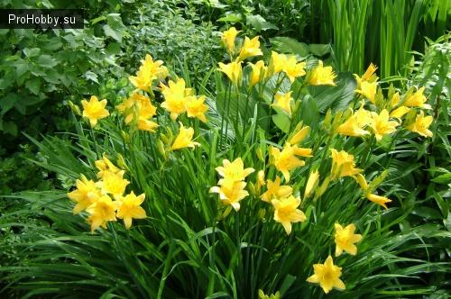 С какими цветами сочетаются лилейники в дизайне сада